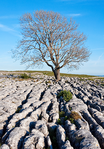 Lone tree above Malham