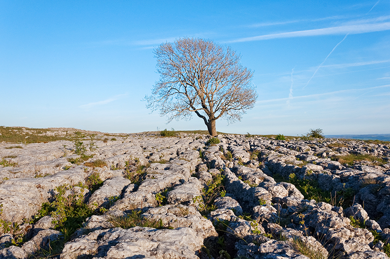 Lone tree and limestone pavement above Malham