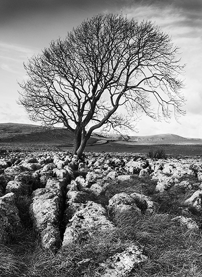 Limestone pavement and Ash tree